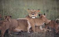 7-Night Kenya Basic Camping Safari from Nairobi: Masai Mara and Loita Hills Photos