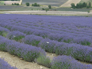 Small Group Provence and Lavender Museum Day Trip from Avignon Photos