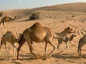 Dubai Desert Hummer Adventure with BBQ Dinner Photos