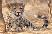 Cheetah Breeding Project Tour at Hoedspruit Endangered Species Centre