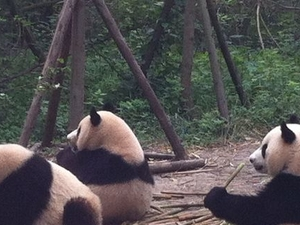 Half-Day Chengdu Panda Breeding Center Tour with Optional Baby Panda Holding Photos