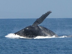 Maui Whale Watch Cruise Photos