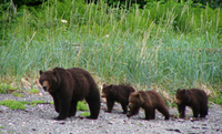 Juneau Shore Excursion: Exclusive Pack Creek Bear Viewing from Juneau  Photos