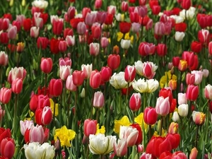 Keukenhof Gardens and Tulip Fields Tour from Amsterdam Photos