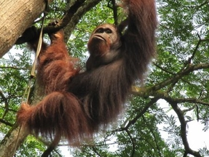 Private Tour: Singapore Zoo Morning Tour with optional Jungle Breakfast amongst Orangutans Photos