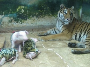 Tiger Zoo Tour from Pattaya including Lunch Photos
